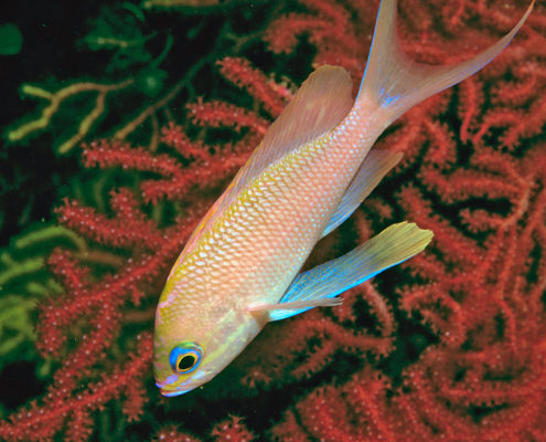 Anthias anthias, Secca di Gaudioso
