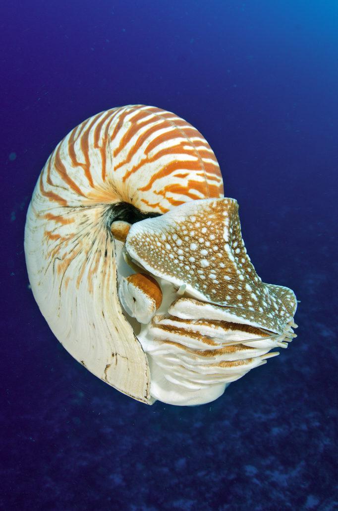 Nautilus pompilius, Palau
