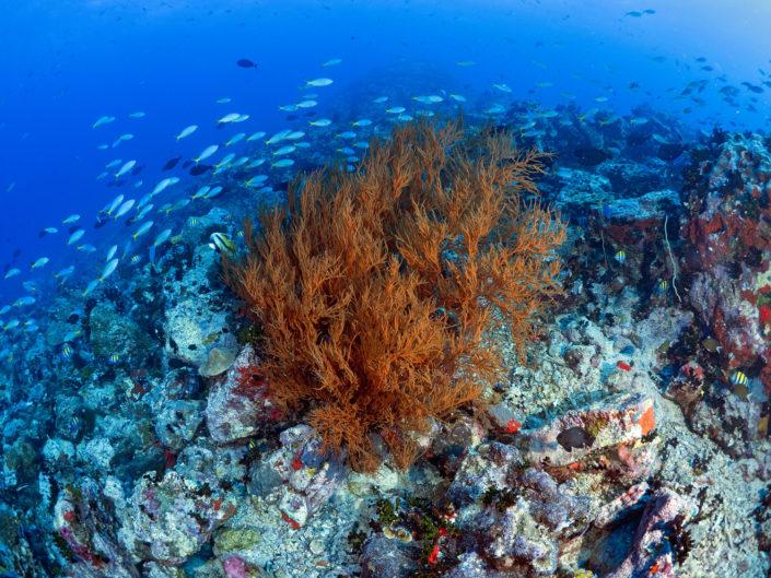 Corallo nero, Ile du Sud
