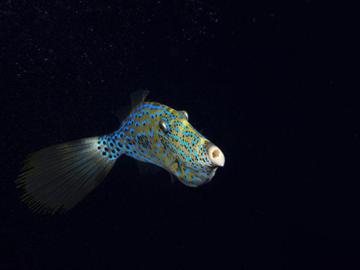 Pesce lima in notturna