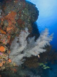Corallo nero, Isola del Sud