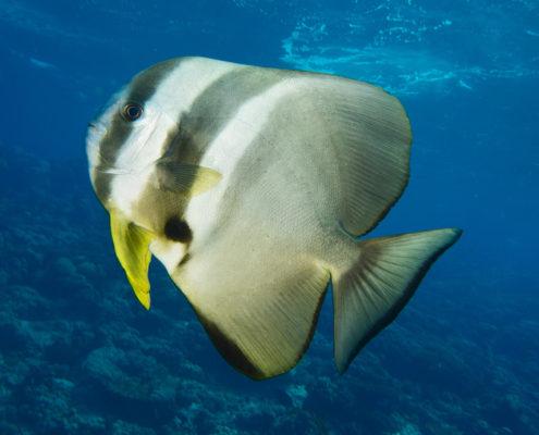 Pesce pipistrello