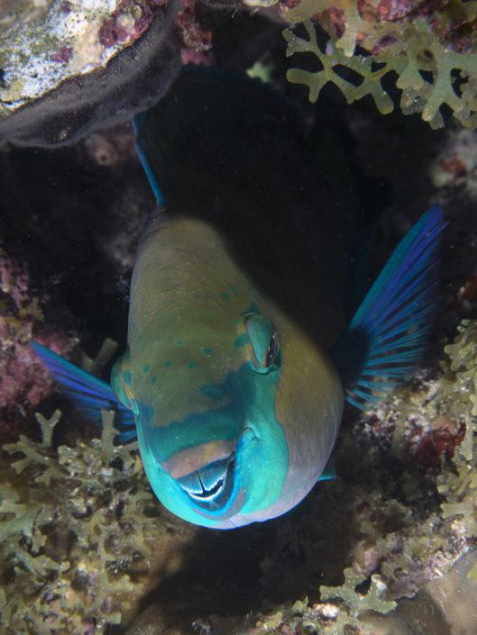 Pesce pappagallo, notturna Isola Grande